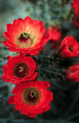 Cactus_Flowers_red